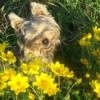 A yorkie sitting in yellow flowers.