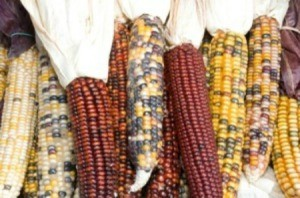 Growing and Harvesting Indian Corn