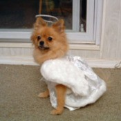 Orange Pomeranian wearing a white angel costume.