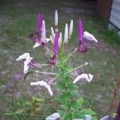 Garden: Cleomes