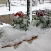 Snow covered flowers.