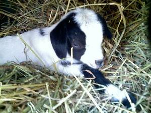 billy goat kid