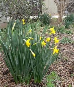 Blooming daffodils.