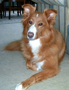 Reddish dog with white on chest.