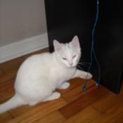 Nilla (Kitten)