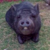 Petunia (Vietnamese Potbellied Pig)