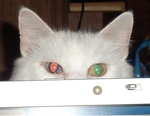 Closeup of eyes and ears of white cat.