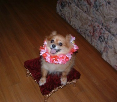 Orange Pomeranian with a lei, sitting on a foot stool