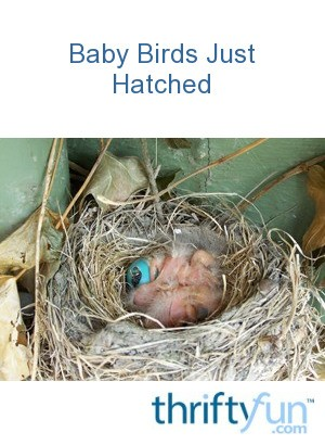 Baby Birds Just Hatched Thriftyfun