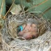 New baby birds in nest.