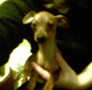 Small tan dog.