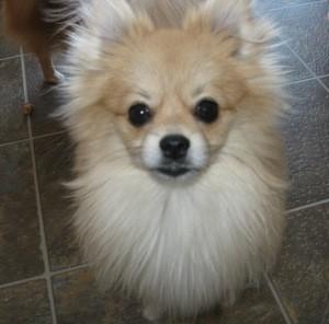 Closeup of a cream Pomeranian