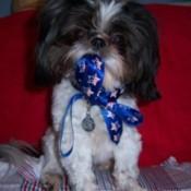 Rosie (Shih Tzu) - Black and White Shih Tzu with a Texas Star ribbon.