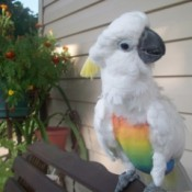 Sammi (Lesser Crested Sulfur Cockatoo)