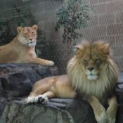 2 lions at zoo