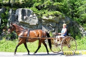 Retired Racehorse pulling a carriage.