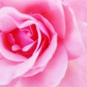 Closeup of pink rose.