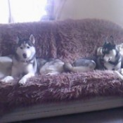 2 dogs on couch