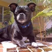 black Pug looking dog