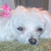 Lola (Miniature Maltese)