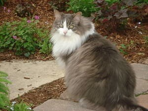 Grey and white cat in garden.