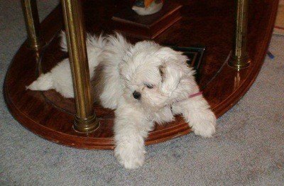 Lil Missy (Shih Tzu) - Dog sitting under a table.