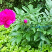 A bright pink peony blooming outside.