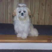 Daisy (Shih Tzu) - White dog with hair tied up on top of head.