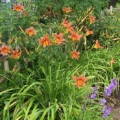 Orange lilies.