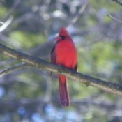 Cardinal perched on tree branch.
