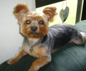 Baby Woody (Yorkshire Terrier)