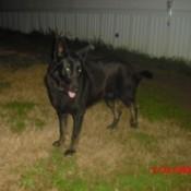 Mixed breed black dog.