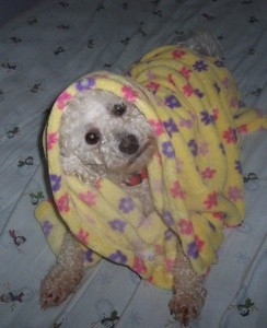 Bichon under blanket.