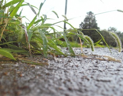 Weeds After The Rain