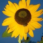 Closeup of a sunflower.