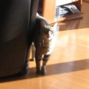 Gatto (American Shorthair Tabby)