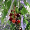 Wild Cherries in the Rain