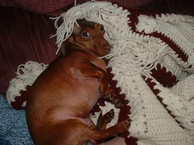 Dog snuggling under blanket.