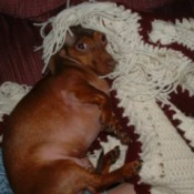 Dog snuggling under blanket.