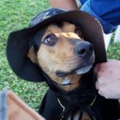 Italian Greyhound/Beagle