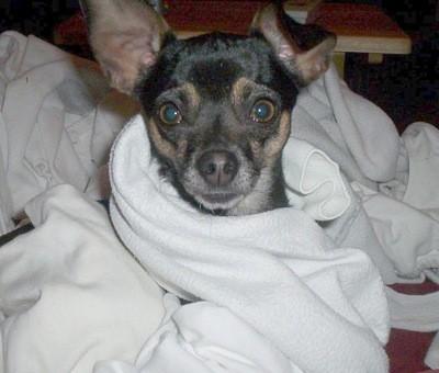 Jolie (Chihuahua)