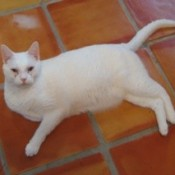 White cat on tile floor