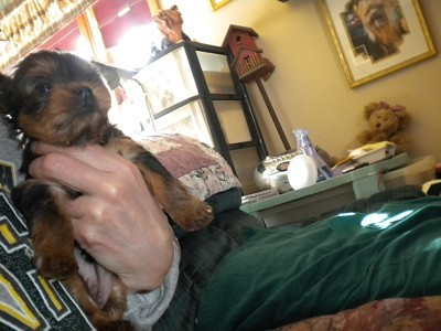 Sophie (Yorkshire Terrier)
