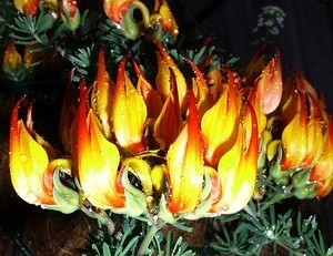 plant that looks like flame