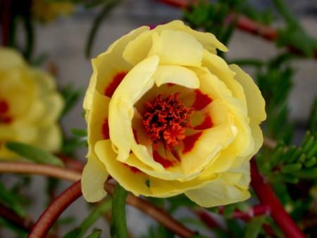 Pretty pale yellow flower.