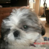 Closeup of Cheyenne, a small Shih Tzu.