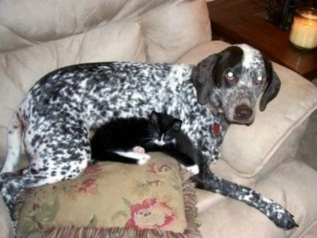 Patch (German Shorthaired Pointer)