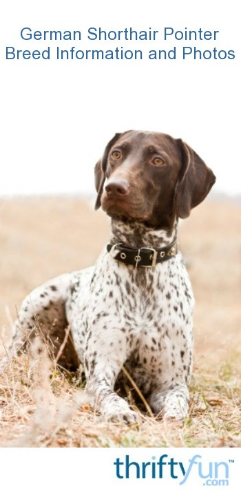 German Shorthair Pointer Breed Information And Photos