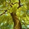 Photo taken staring up at a large willow tree.