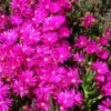 Creeping, mat-forming succulent species, called an ice plant.